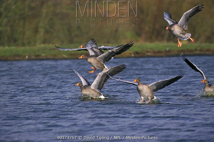 Greylag geese landing on water (Anser anser) Caerlaverock WT, Scotland, UK  -  David Tipling/ npl