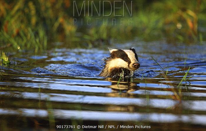 Badger swimming (Meles meles)  -  Dietmar Nill/ npl