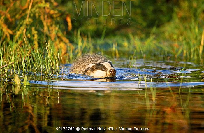 Badger swimming (Meles meles) Germany  -  Dietmar Nill/ npl
