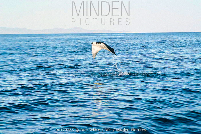 Manta Ray leaping out of sea (Manta birostris), cleaning behaviour, Mexico NB By leaping  -  Doc White/ npl