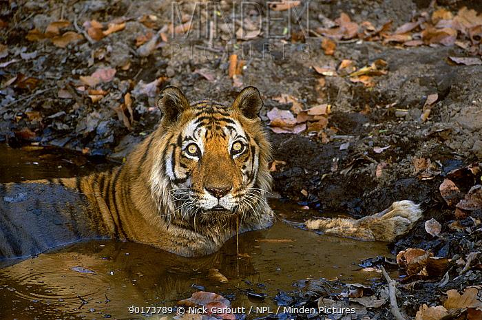 Male Bengal tiger Charger (Panthera t tigris) resting in water Bandhavgarh NP India  -  Nick Garbutt/ npl