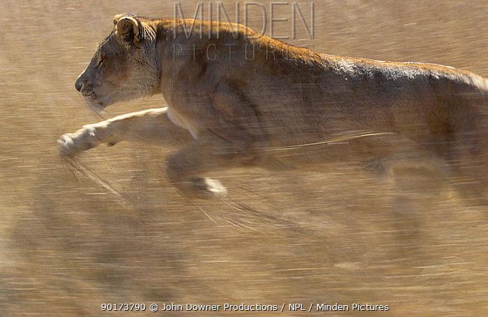 Lioness pouncing (Panthera leo) Africa  -  John Downer/ npl