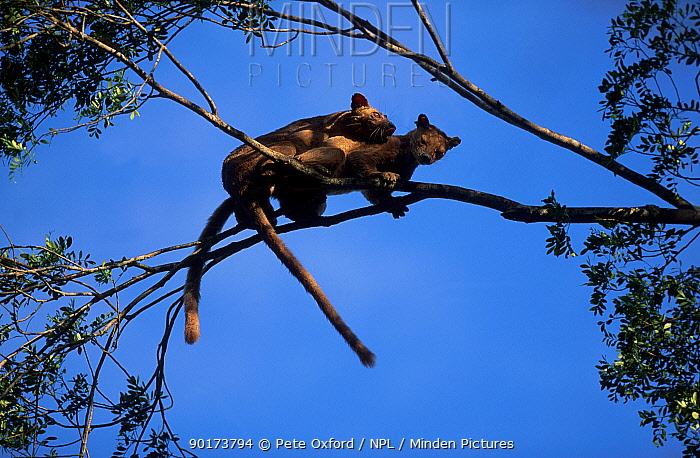 Fossas mating in tree (Cryptoprocta ferox) Western Dry Forest Madagascar  -  Pete Oxford/ npl