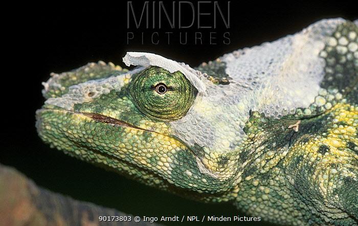 Mellers chameleon (Chamaeleo melleri) East Africa  -  Ingo Arndt/ npl