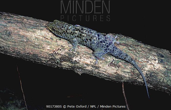 Fish tailed gecko (Geckolepis typica) Ankarana SR, Madagascar  -  Pete Oxford/ npl
