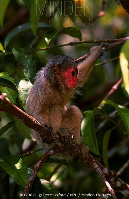 White uakari monkey C (Cacajao calvus calvus) Mamiraua Brazil  -  Pete Oxford/ npl
