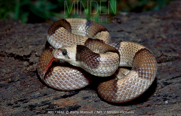 Saddled leafnose snake (Phyllorhynchus browni) Sonora Mexico  -  Barry Mansell/ npl