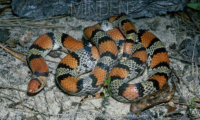 Scarlet snake (Cemophora coccinea) Florida USA  -  Barry Mansell/ npl