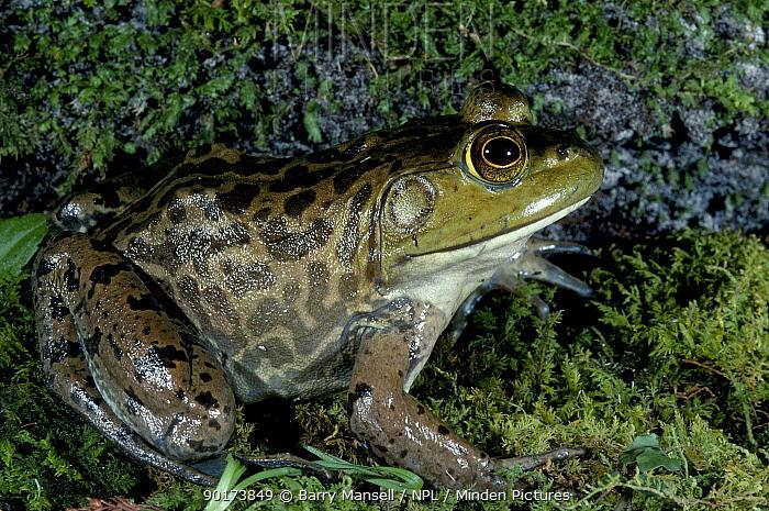 Bull frog (Rana catesbeiana) C Florida USA  -  Barry Mansell/ npl