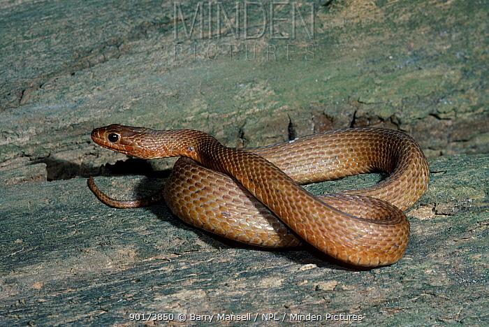 Mangrove water snake C (Nerodia fasciata compressicauda) Florida USA  -  Barry Mansell/ npl