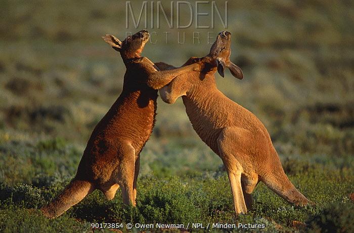 Male Red kangaroos fighting for dominance (Macropus rufus) Sturt NP NSW Australia  -  Owen Newman/ npl