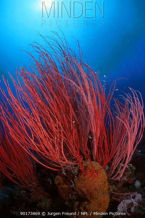Fan coral Indo-pacific  -  Jurgen Freund/ npl
