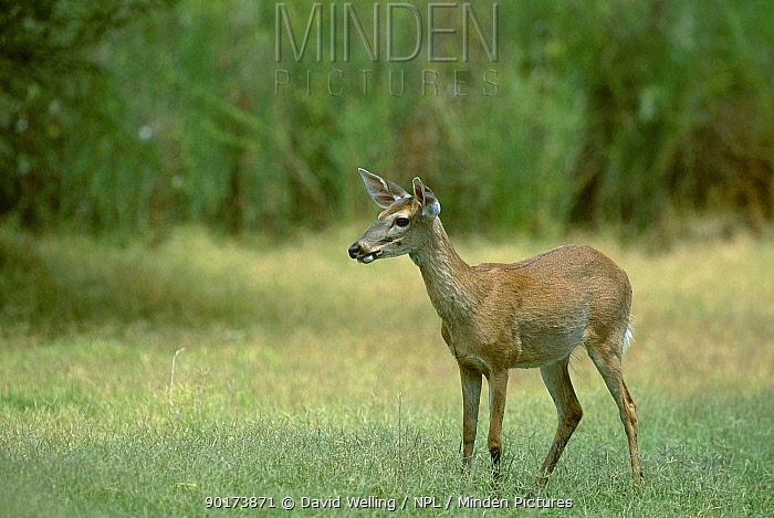 White tailed deer (Odocoileus virginianus) Texas USA  -  David Welling/ npl