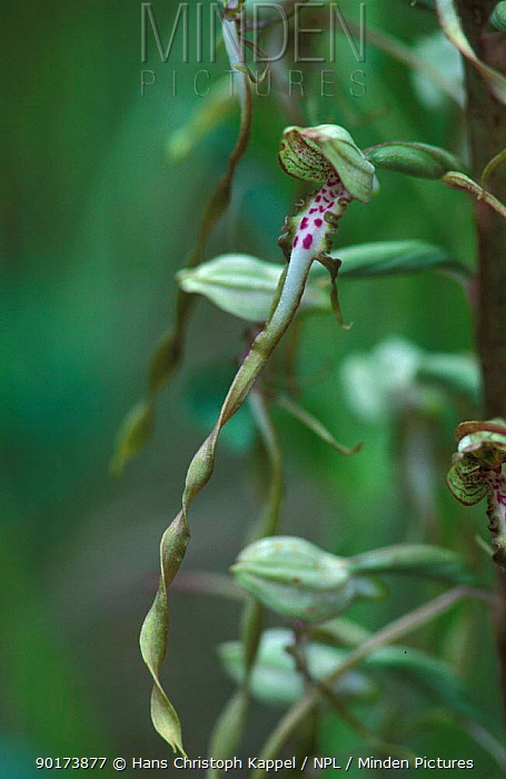 Lizard Orchid flower close up, Germany (Himantoglossum hircinium)  -  Hans Christoph Kappel/ npl