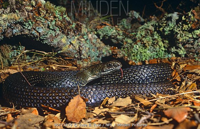 Montpellier snake (Malpolon monspessulanus) Cadiz, Spain  -  Jose B. Ruiz/ npl