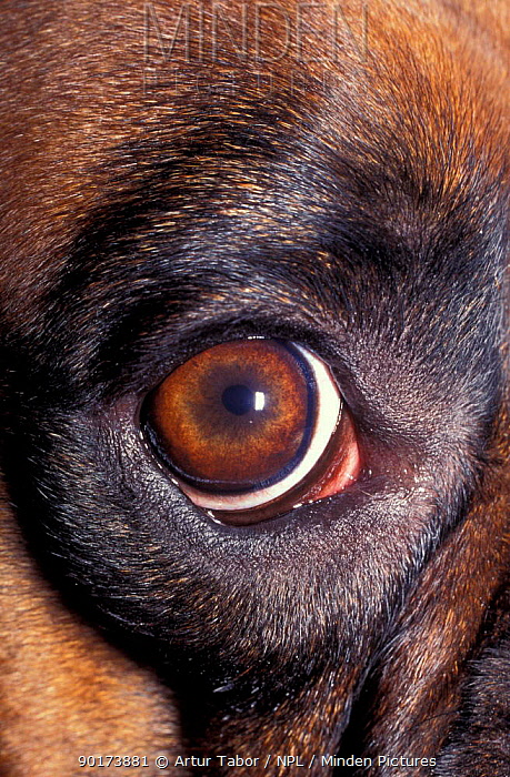 Close up of eye of Domestic dog (Canis familiaris)  -  Artur Tabor/ npl