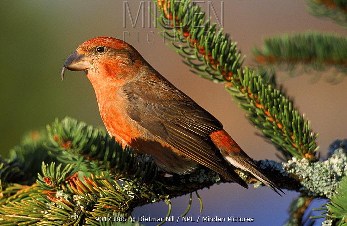 Male Red crossbill in spruce tree, Germany  -  Dietmar Nill/ npl
