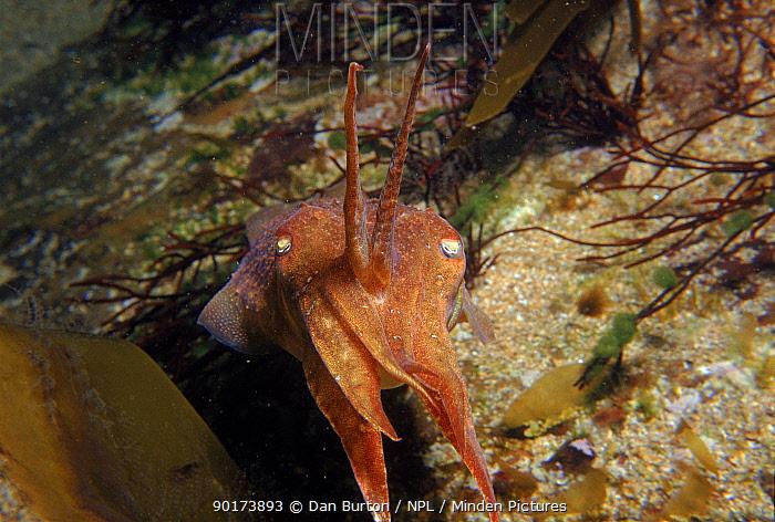 Common cuttlefish (Sepia officinalis linnaeus) UK, Europe  -  Dan Burton/ npl
