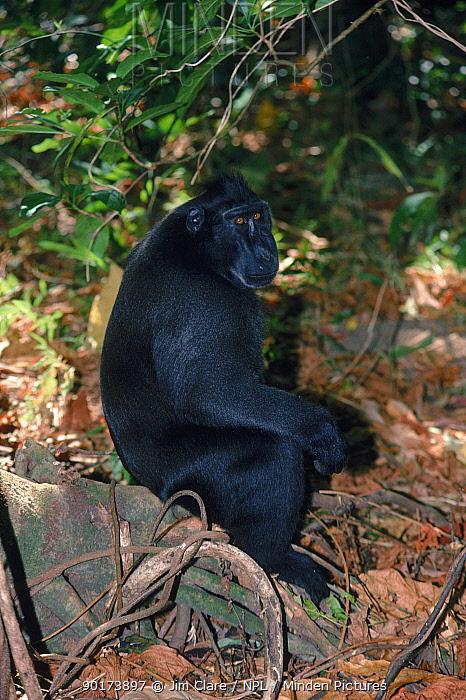 Celebes crested macaque (Macaca nigra) Tangkoko NR, Sulawesi, Indonesia  -  Jim Clare/ npl