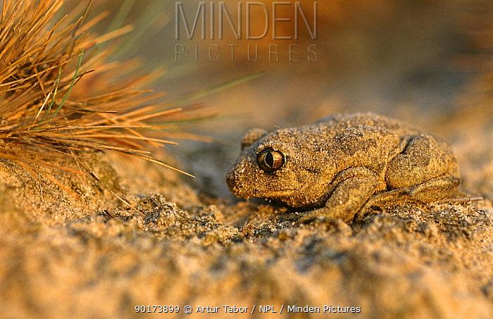 Common spadefoot toad (Pelobates fuscus) Poland  -  Artur Tabor/ npl