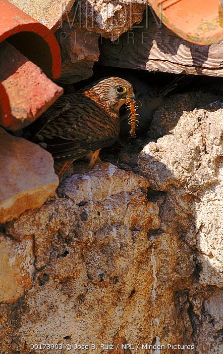Lesser kestrel (Falco naumanni), female, with insect prey Albacete, Spain, Europe  -  Jose B. Ruiz/ npl