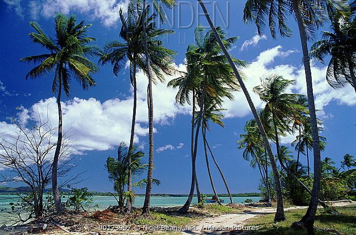 Coconut Palms (Cocos nucifera) Pigeon Point Tobago  -  Nigel Bean/ npl