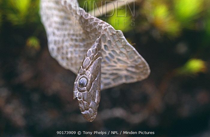 Shed skin of Smooth snake (Coronella austriaca) Purbeck, Dorset, UK  -  Tony Phelps/ npl