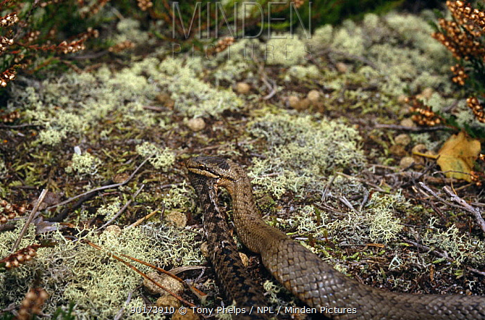 Smooth snake (Coronella austriaca) seizes young Adder (Vipera berus) Purbeck, Dorset, UK  -  Tony Phelps/ npl