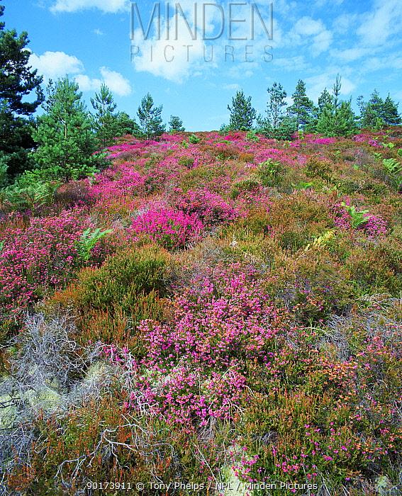 South facing heathland optimum habitat for reptiles Wareham Dorset UK  -  Tony Phelps/ npl