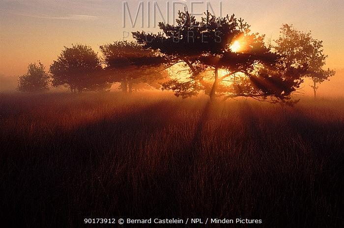 Kalmthoutse Heide at sunrise, Kalmthout, Belgium, Europe  -  Bernard Castelein/ npl