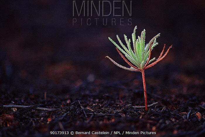 Coniferous tree seedling, two months after heathland fire, Kalmthout, Belgium, Europe  -  Bernard Castelein/ npl
