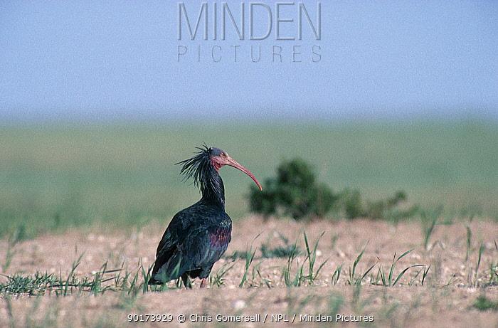 Hermit ibis feeding (Geronticus eremita) Morocco Bald Ibis  -  Chris Gomersall/ npl