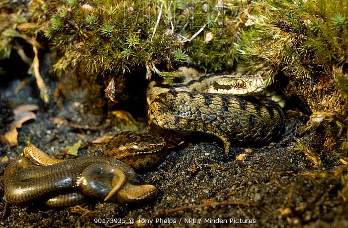 Adder giving birth (Vipera berus) Dorset UK  -  Tony Phelps/ npl
