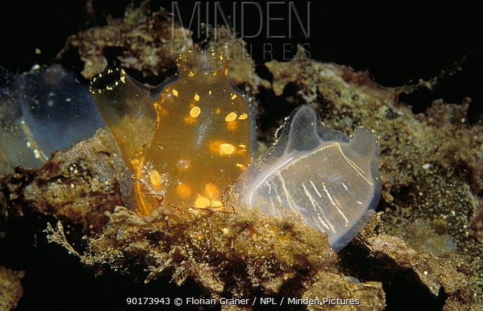 Tunicates (Corella parallelogramma) Fisterfjord, Norway  -  Florian Graner/ npl