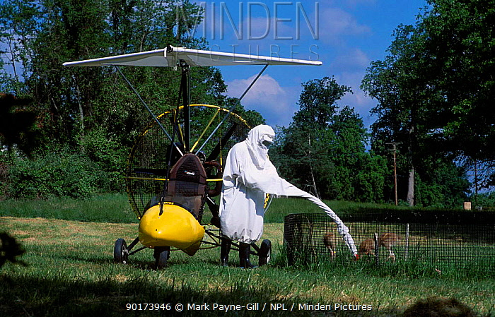 Researcher in crane costume with Whooping crane chicks Maryland USA Operation, imprinting chicks so they will follow microlite south for winter  -  Mark Payne-Gill/ npl
