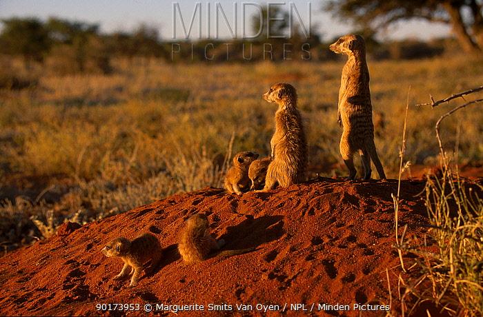 Meerkat family on alert watch (Suricata suricatta) Tswalu Kalahari Reserve South Africa  -  Marguerite Smits Van Oyen/ npl