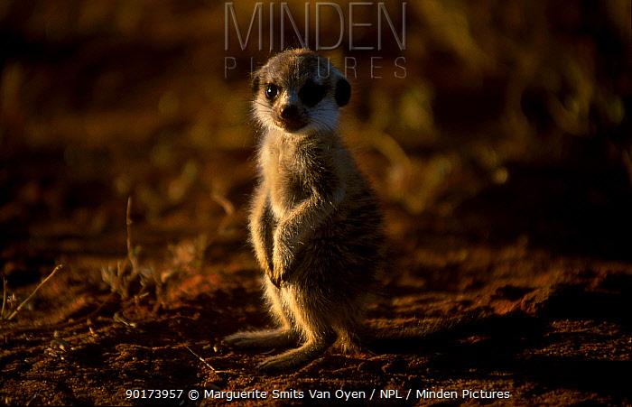 Baby Meerkat sitting portrait (Suricata suricatta) Tswalu Kalahari Reserve South Africa  -  Marguerite Smits Van Oyen/ npl