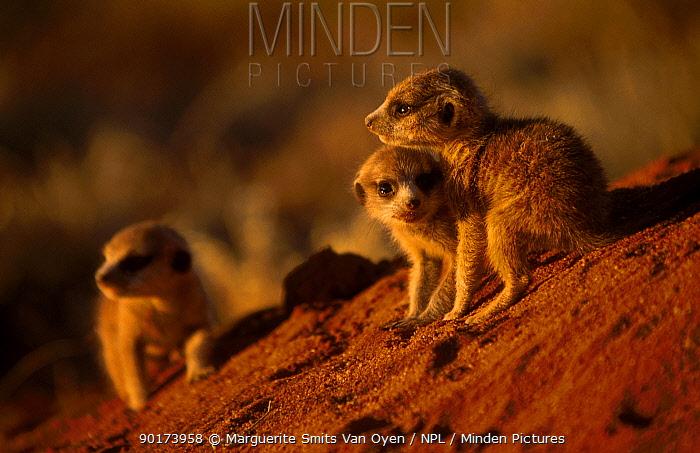 Baby meerkats at play (Suricata suricatta) Tswalu Kalahari Reserve South Africa NATURAL  -  Marguerite Smits Van Oyen/ npl