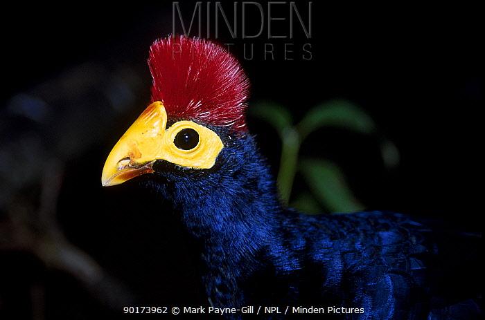 Lady Rosss turacco (Musophaga rossae) C  -  Mark Payne-Gill/ npl