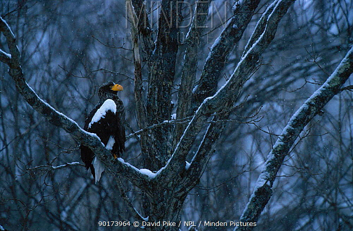 Stellers sea eagle perched in tree (Haliaeetus pelagicus) Nemuro Straits Japan  -  David Pike/ npl