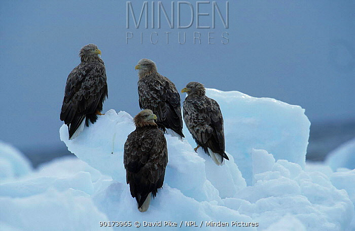 White tailed eagle group (Haliaeetus albicilla) Nemuro straits Japan  -  David Pike/ npl