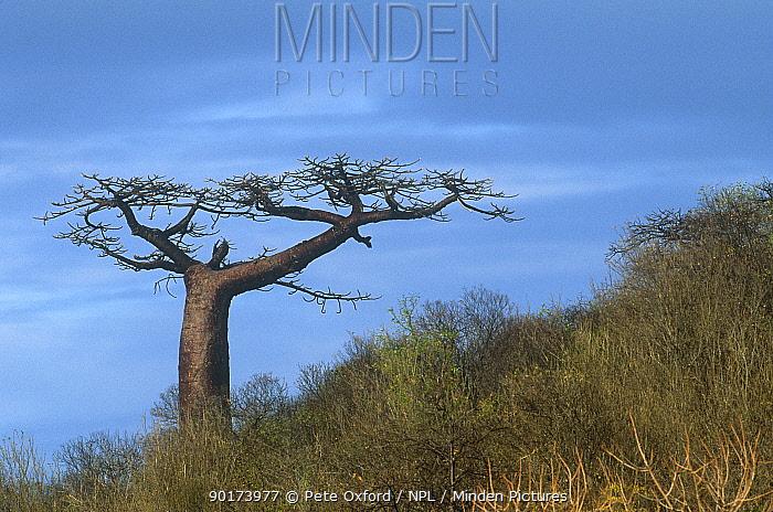 Suarez Baobab tree (Adansonia suarezensis) growing on hillside, Antsiranana, Northern Madagascar Endangered  -  Pete Oxford/ npl