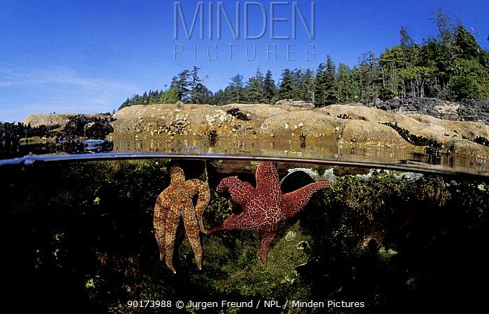 Seastars in tide pool split level (Asteroidea) Canadian pacific coast  -  Jurgen Freund/ npl