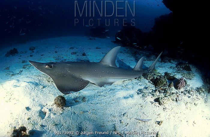 Shovelnose ray (Rhinobatos batillum) Great Barrier Reef Australia  -  Jurgen Freund/ npl