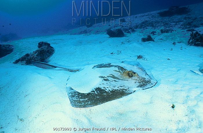 Feathertail stingray covered in sand (Pastinachus sephen) Great Barrier Reef Australia  -  Jurgen Freund/ npl