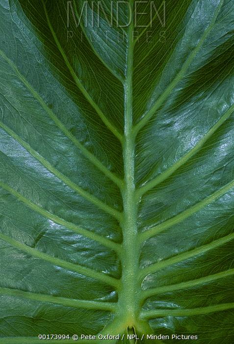 Close up of Water philodron leaf (Araceae) Amazonia Ecuador  -  Pete Oxford/ npl