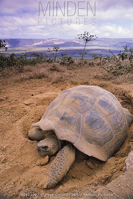 Giant tortoise digging nest burrow (Geochelone elephantopus) Isabella Is, Galapagos  -  Pete Oxford/ npl