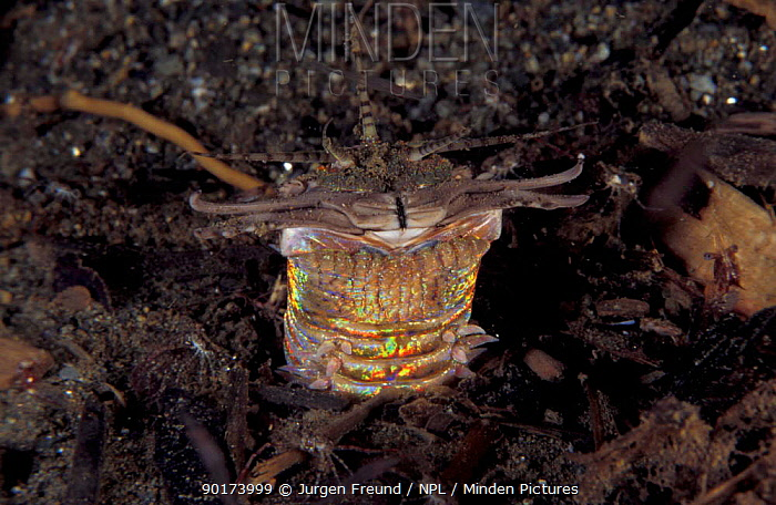 Bobbit worm head, approx 1 inch wide and 15-30 feet long living in mud, Indo-Pacific  -  Jurgen Freund/ npl