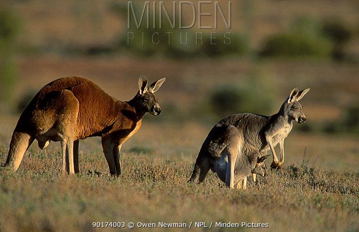 Male Red kangaroo behind female with joey (Macropus rufus) Sturt NP NSW Australia  -  Owen Newman/ npl
