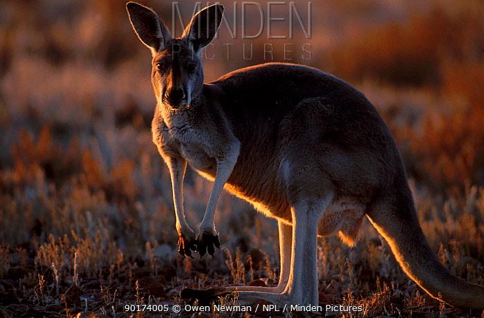 Female Red kangaroo backlit at sunset (Macropus rufus) Sturt NP New South Wales Australia  -  Owen Newman/ npl